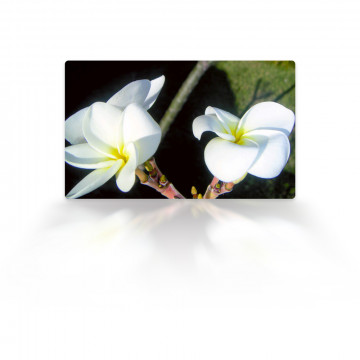 Hydro-distillate (Frangipani Floral Water)